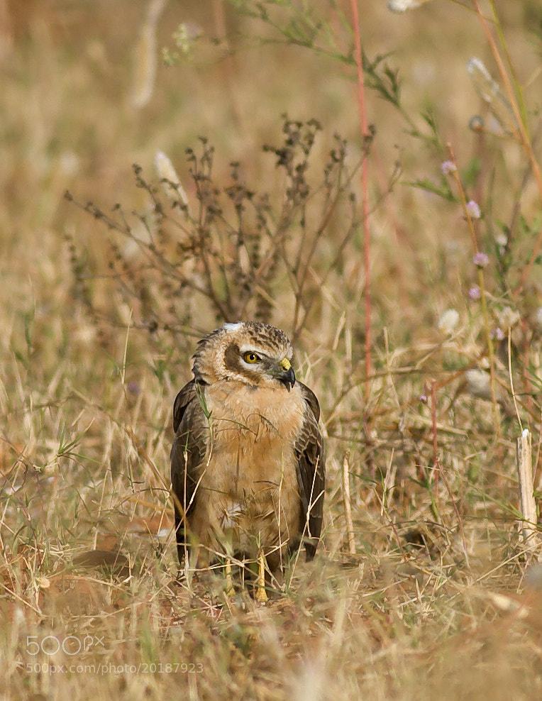 Photograph Montagu Harrier by Pankaj Ratna on 500px