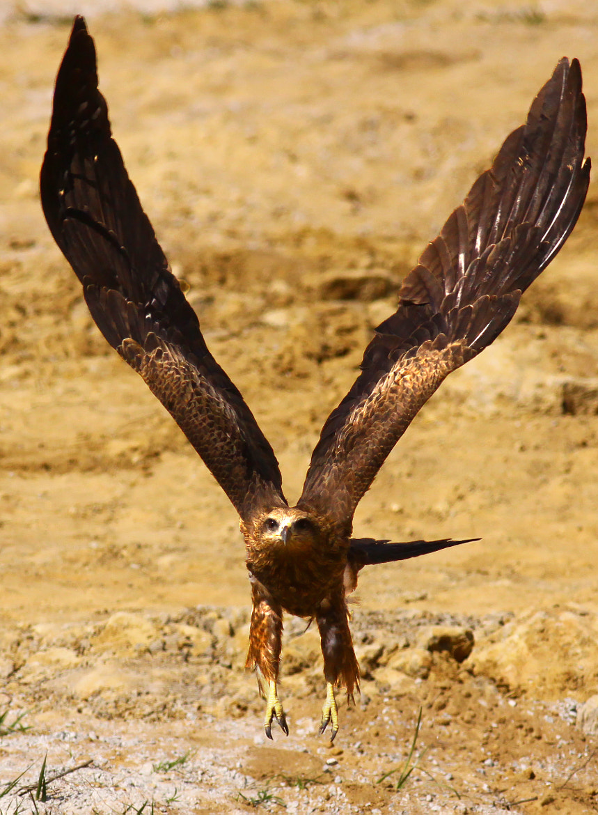 Photograph Black Kite by Pankaj Ratna on 500px