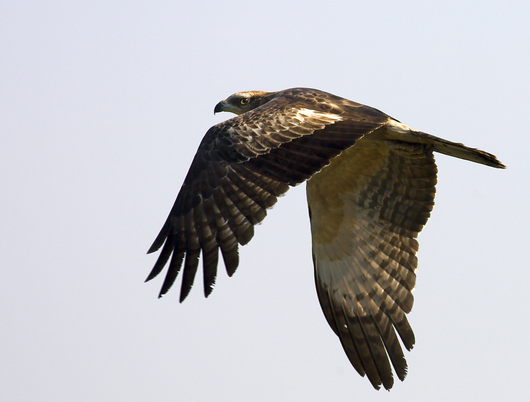 Photograph Oriental Honey Buzzard by Pankaj Ratna on 500px