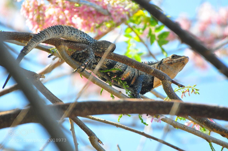 Photograph iguana by Elissar Khalek on 500px