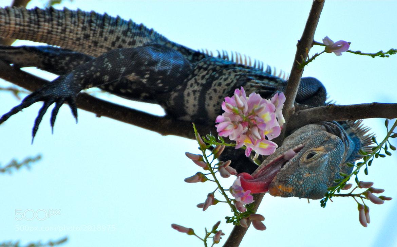 Photograph  snacking iguana by Elissar Khalek on 500px