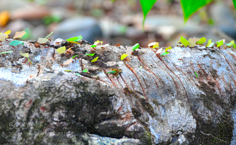 Photograph leaf-cutter ants by Elissar Khalek on 500px