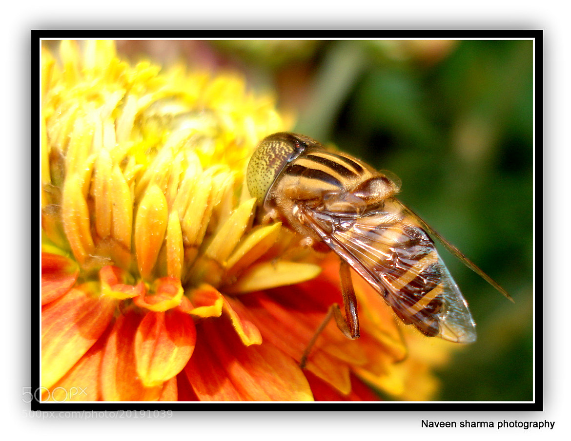 Photograph HONEY BEE N ITS DESTINATION by naveen sharma on 500px