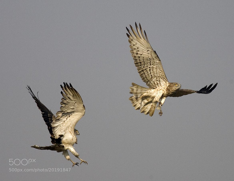 Photograph Short Toed Snake Eagle - Couple by Pankaj Ratna on 500px