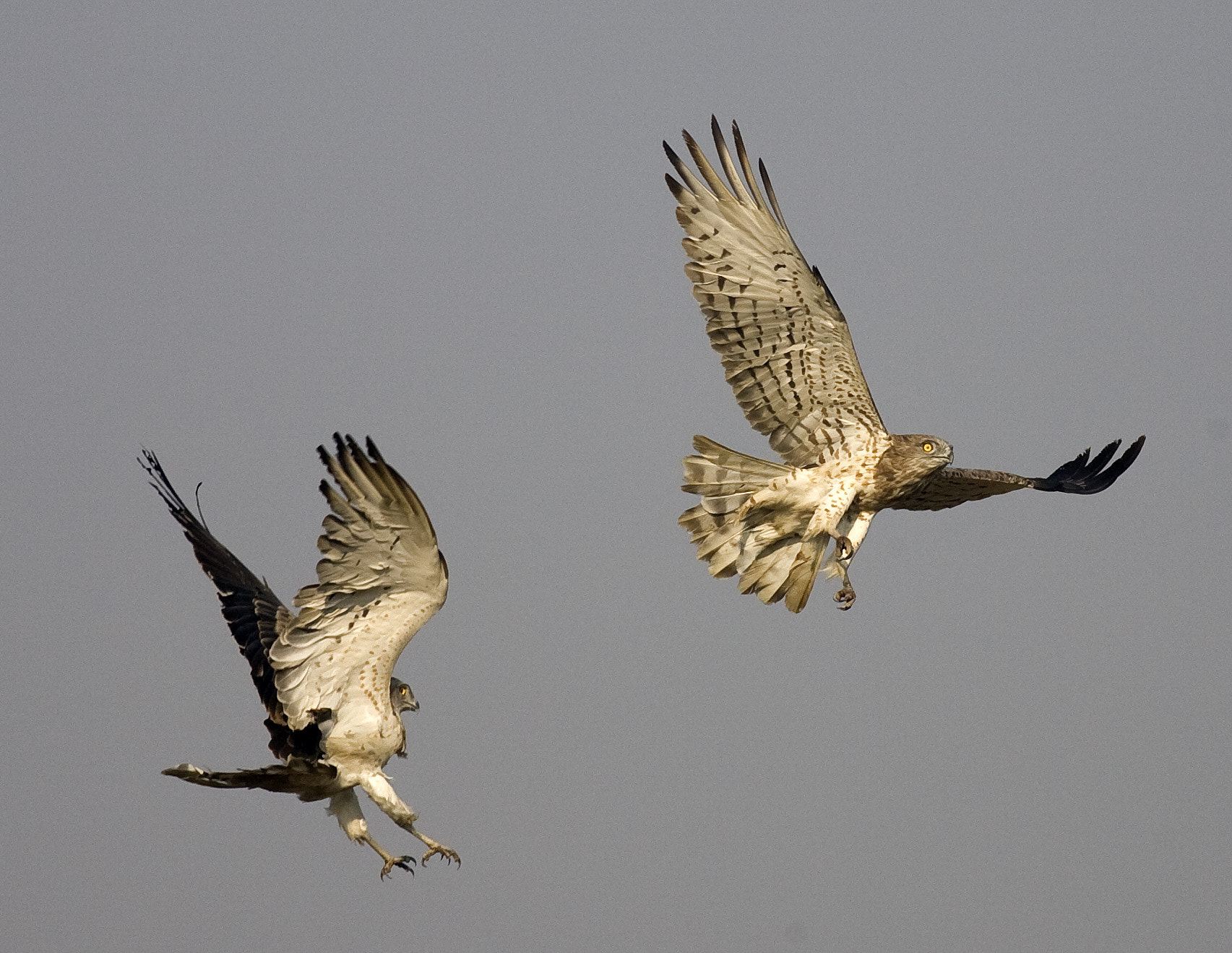 Photograph Short Toed Snake Eagle - Couple by Pankaj Ratna on 500px