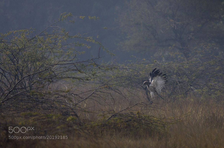 Photograph Short Toed Snake Eagle by Pankaj Ratna on 500px