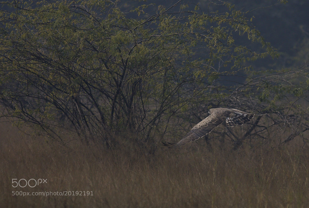 Photograph Short Toed Snake Eagle by Pankaj Ratna on 500px