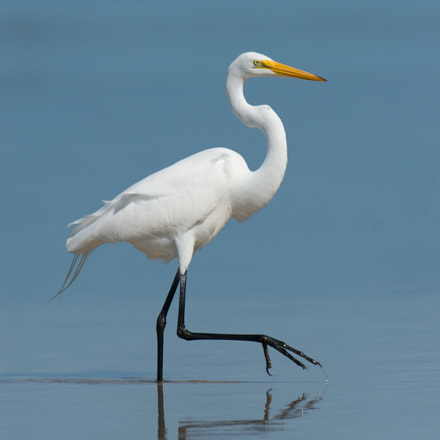 Great Egret, Nikon D800, AF-S Nikkor 500mm f/4D IF-ED II