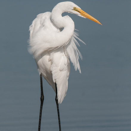 Great Egret, Nikon D300S, AF-S Nikkor 500mm f/4D IF-ED II