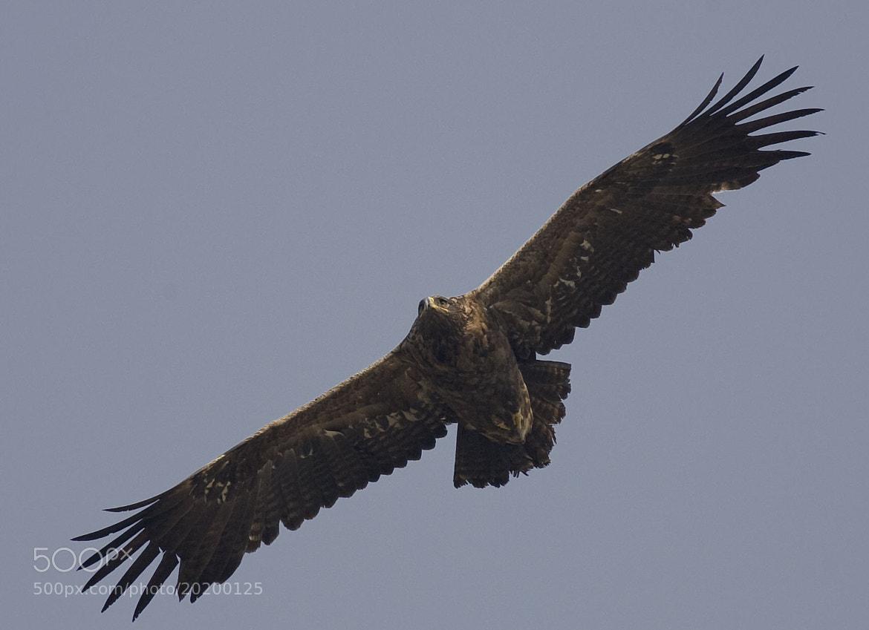 Photograph Steppe Eagle in flight by Pankaj Ratna on 500px