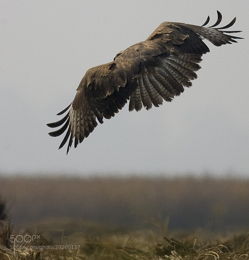 Photograph A Pose - Long Legged Buzzard by Pankaj Ratna on 500px