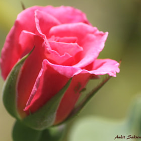 Pink Rose by Ankit Saksena (AnkitSaksena)) on 500px.com