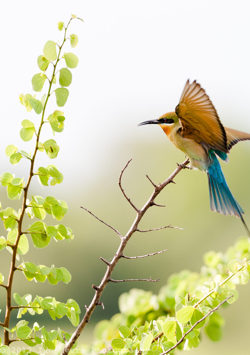 Photograph Bee Eater with Bee! by Ian Mears on 500px
