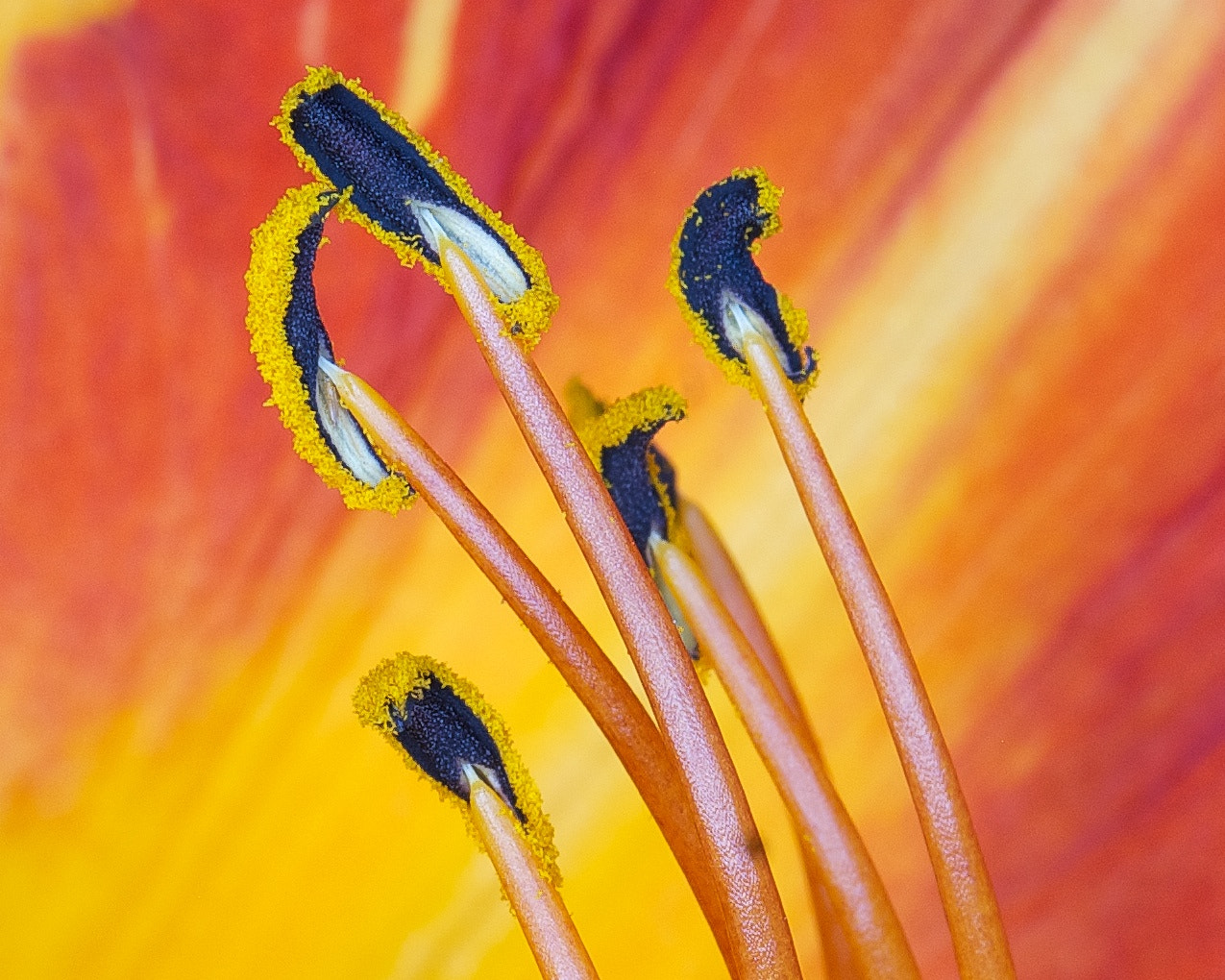 Photograph Day lily v2 (closer) by Ted  on 500px
