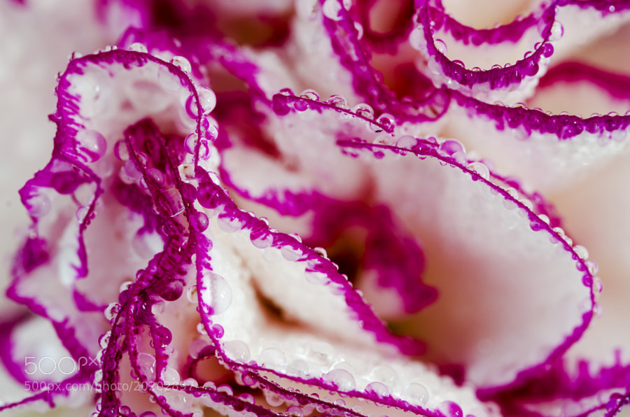 Macro shot of carnation flower petals.
