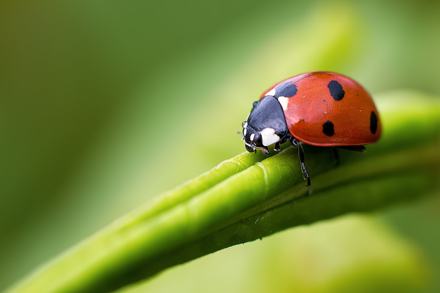 Photograph Simple ladybug by Stéphane ABCDEF on 500px