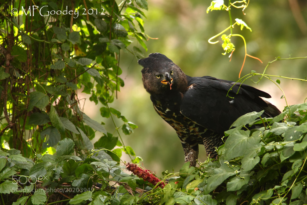 Photograph African Crowned Eagle by Martin  Goodey on 500px