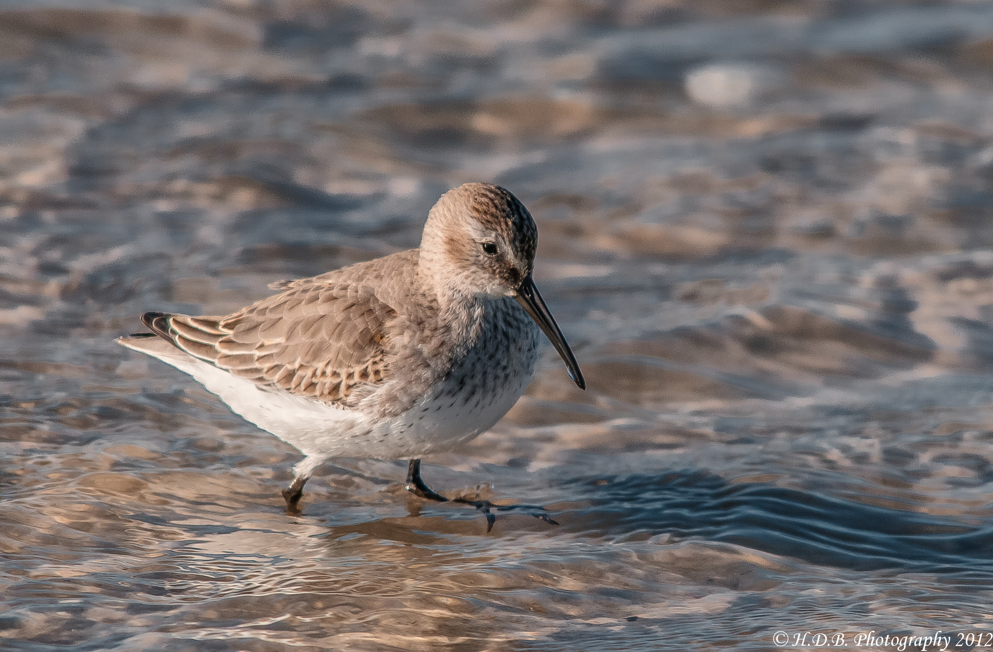 Photograph Sanderling by Harold Begun on 500px