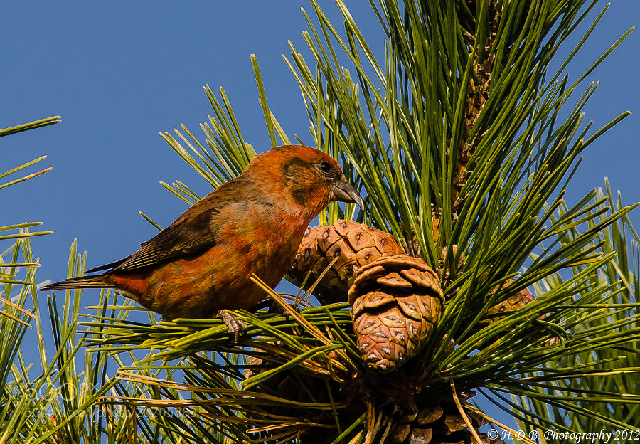 Photograph Male Red Crossbill by Harold Begun on 500px