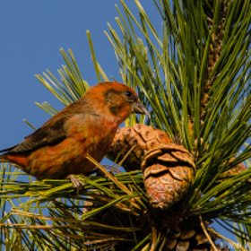 Male Red Crossbill by Harold Begun (HaroldBegun)) on 500px.com