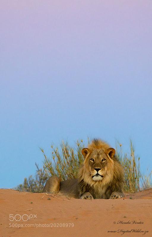 Photograph Twilight Lion by Hendri Venter on 500px