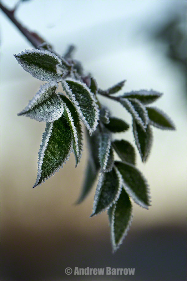 Photograph Iced Leaves by Andrew Barrow LRPS on 500px