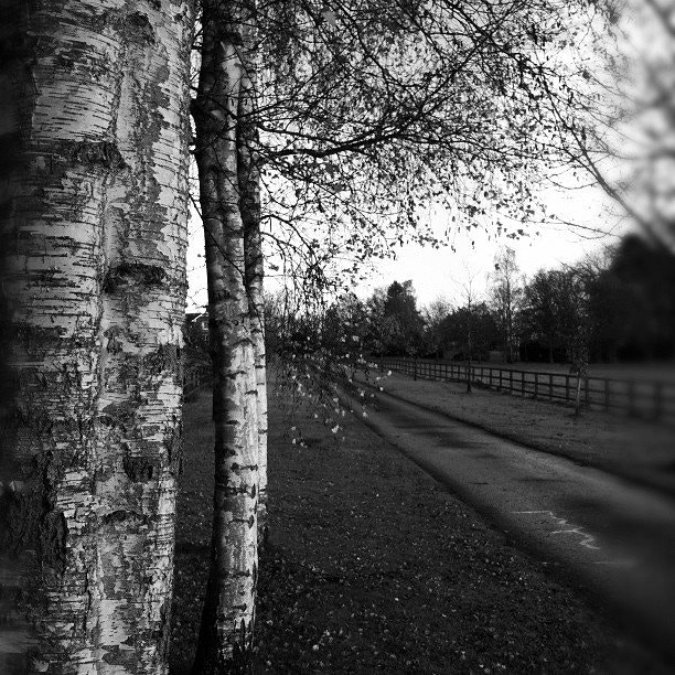 Photograph Three Silver Birch by Andrew Barrow LRPS on 500px