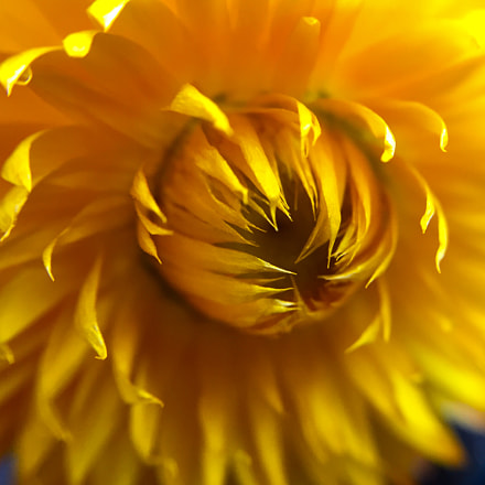 Vibrant Xerochrysum in the summer hot sun