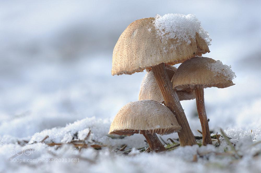 Photograph Inocybe spec. by Jan Westerhof on 500px