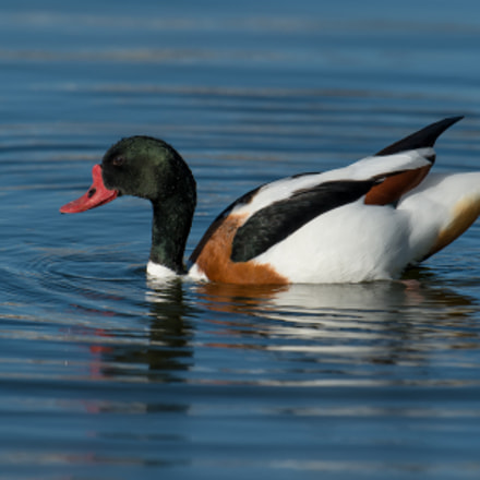 Common Shelduck, Nikon D4S, AF-S Nikkor 500mm f/4D IF-ED II