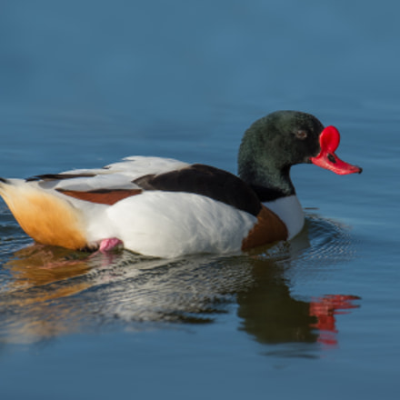 Common Shelduck breeding male, Nikon D4S, AF-S Nikkor 500mm f/4D IF-ED II