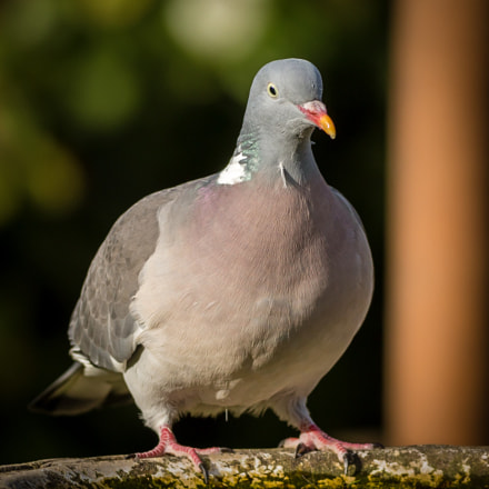 Well Fed Wood Pigeon, Canon EOS 70D, EF400mm f/5.6L USM