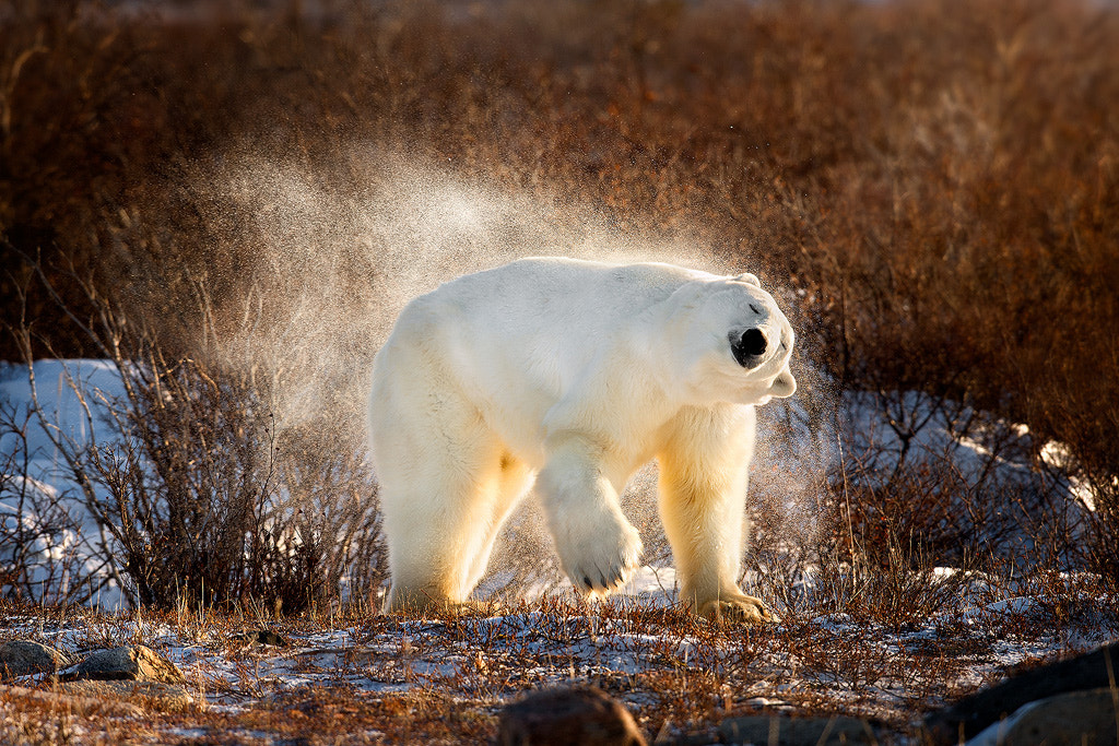 Photograph Polar Bear Shaking The Snow Off by Steve Perry on 500px