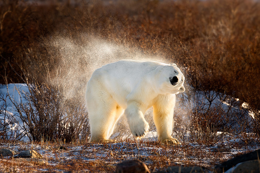 Polar Bear Shaking The Snow Off by Steve Perry on 500px.com