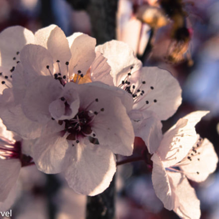 Tree Blossoms in Spring, Canon EOS REBEL T3I, Sigma 28-80mm f/3.5-5.6 II Macro