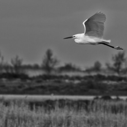 Flying Bird Camargue, RICOH PENTAX K-3, smc PENTAX-FA J 75-300mm F4.5-5.8 AL