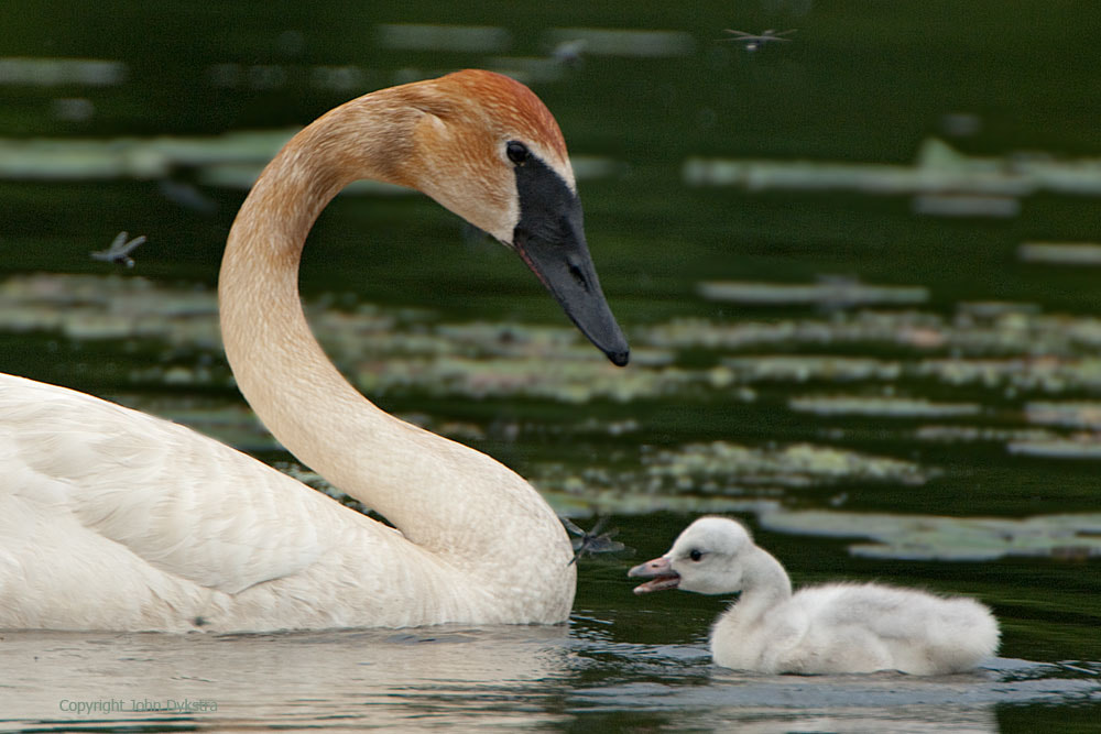 Photograph Cygnet and Dragonfly by John Dykstra on 500px