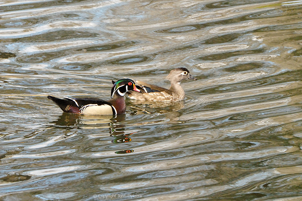 Photograph Duck Ripples by John Dykstra on 500px