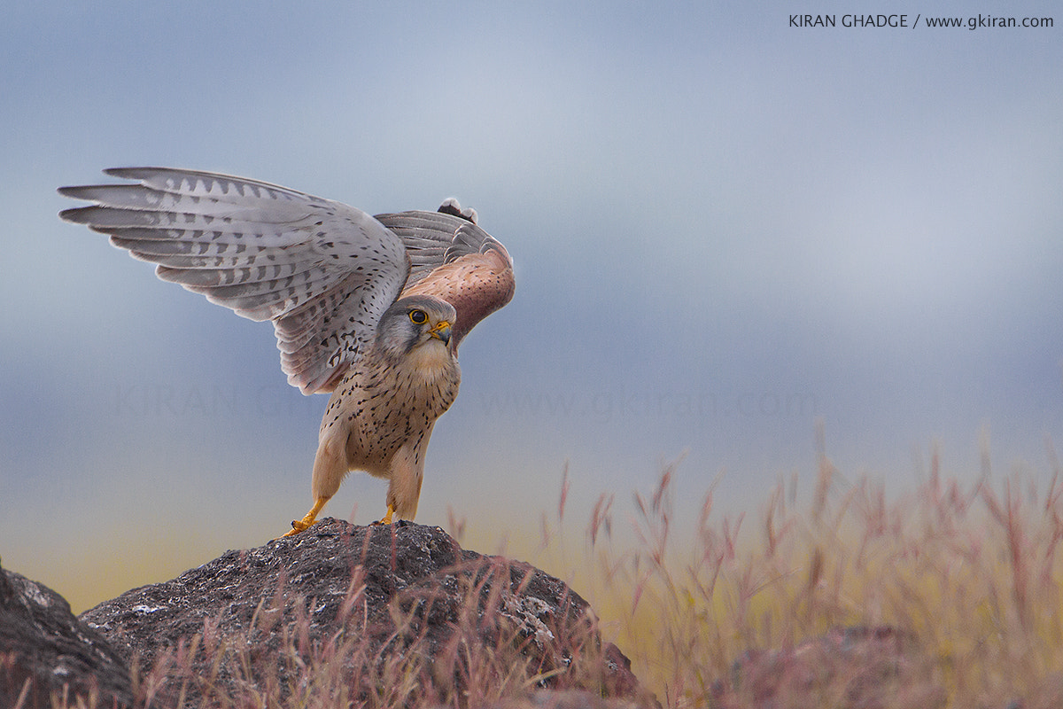 Photograph Kestrel by Kiran Ghadge on 500px