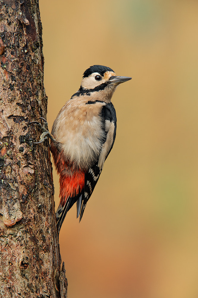 Photograph Female Great Spotted Woodpecker by Geoffrey Baker on 500px
