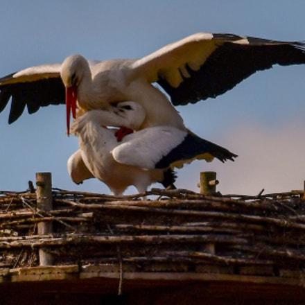 Mating storcks