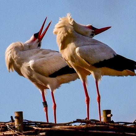 Chattering storcks