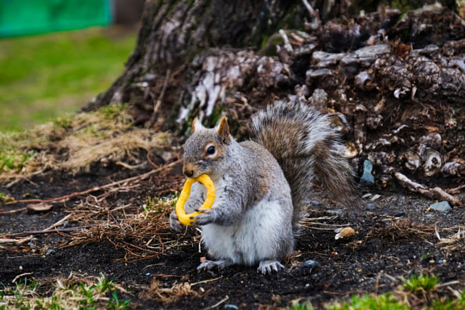 What does a squirrel taste like?