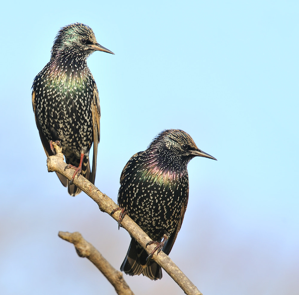 Photograph A pair of winter Starlings by Kevin  Keatley on 500px