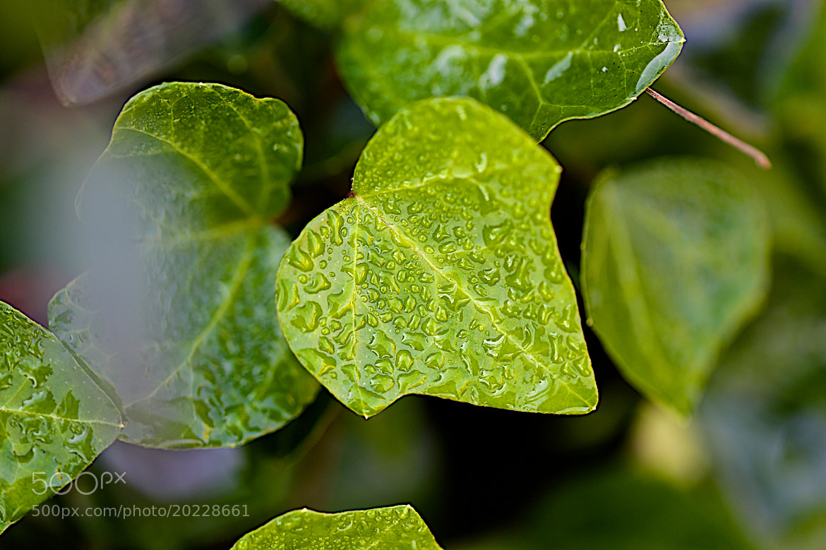 Photograph Wet Ivy by James Groce on 500px
