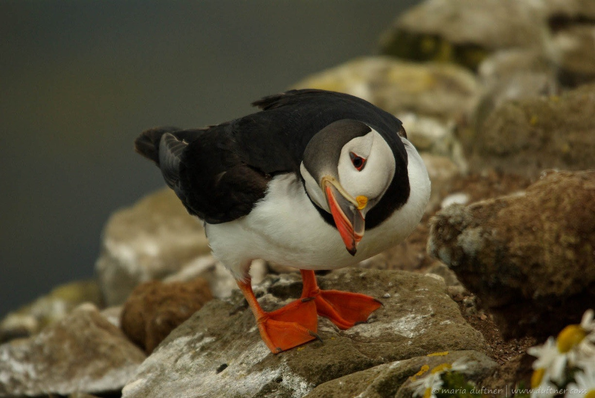 Photograph puffin by fotofreeze on 500px