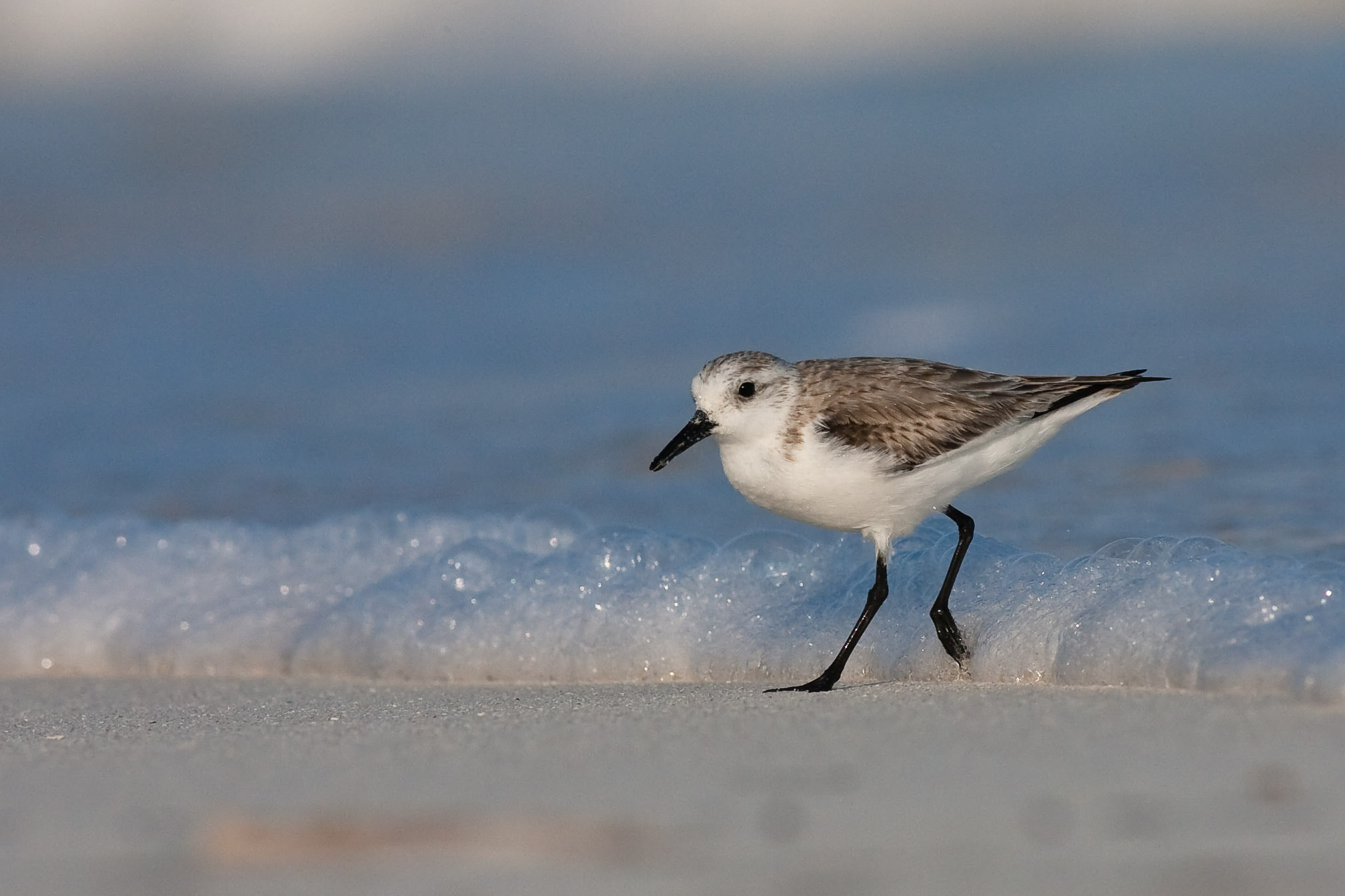 Photograph Sanderling by Craig Nash on 500px