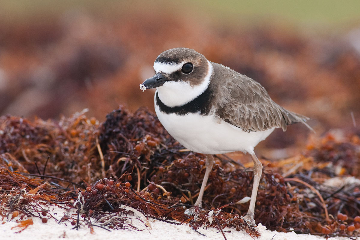 Photograph Wilson's Plover by Craig Nash on 500px