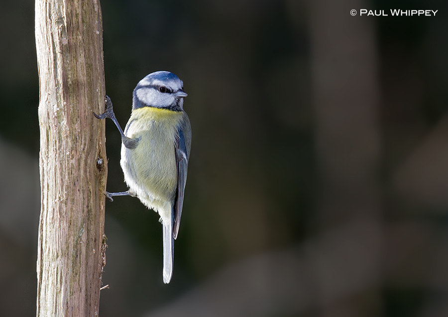 Photograph Blue tit pole dancer! by Paul Whippey on 500px