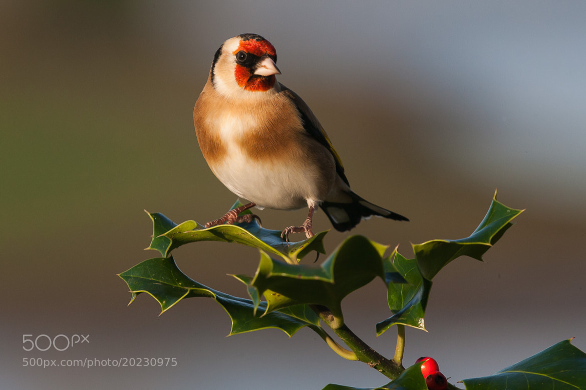 Photograph Christmas Goldfinch by Craig Nash on 500px